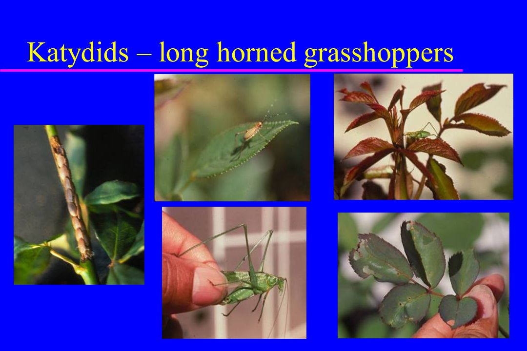 Katydids – long horned grasshoppers
