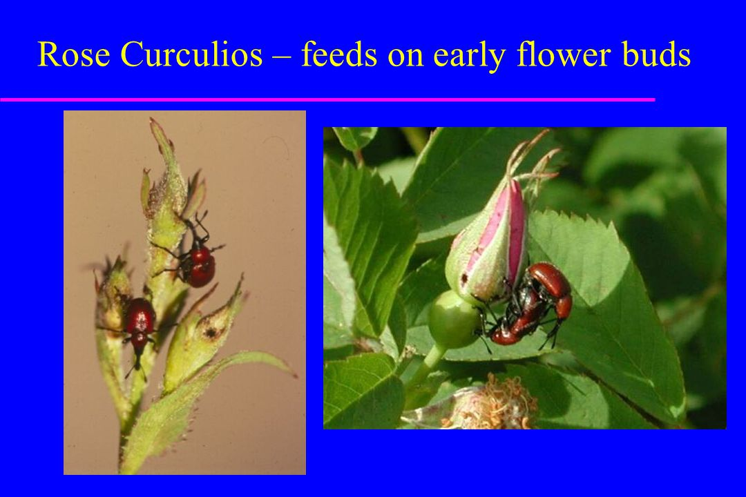 Rose Curculios – feeds on early flower buds