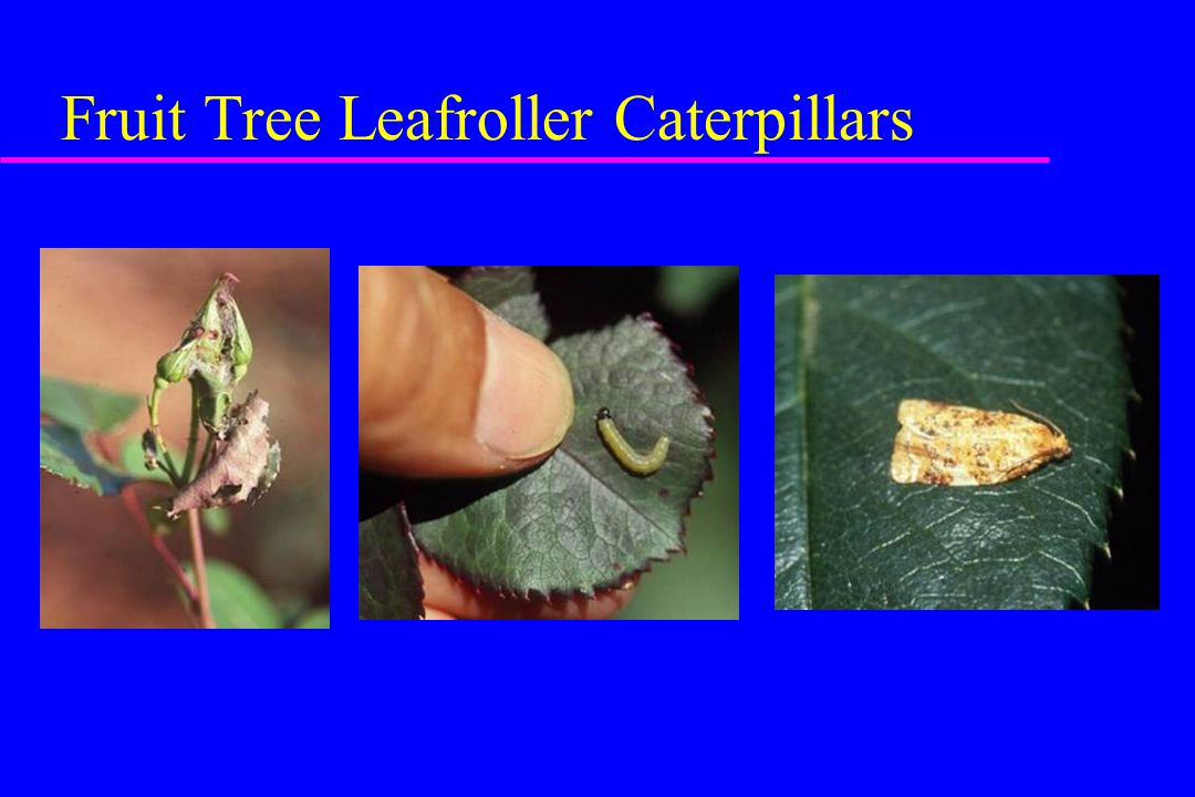 Fruit Tree Leafroller Caterpillars