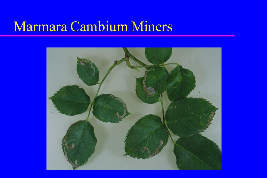 Marmara Cambium Miners