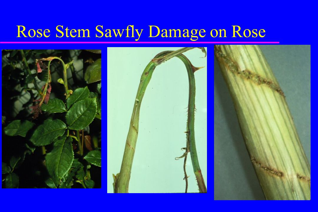 Rose Stem Sawfly Damage on Rose
