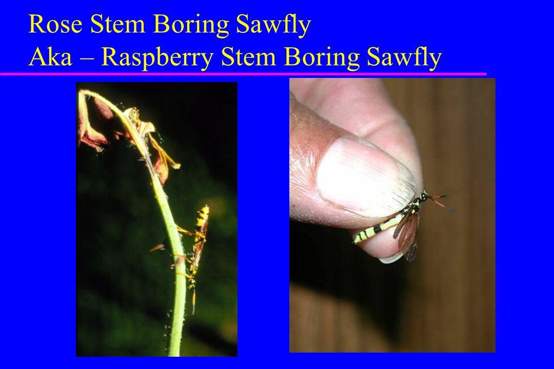 Rose Stem Boring Sawfly Aka – Raspberry Stem Boring Sawfly