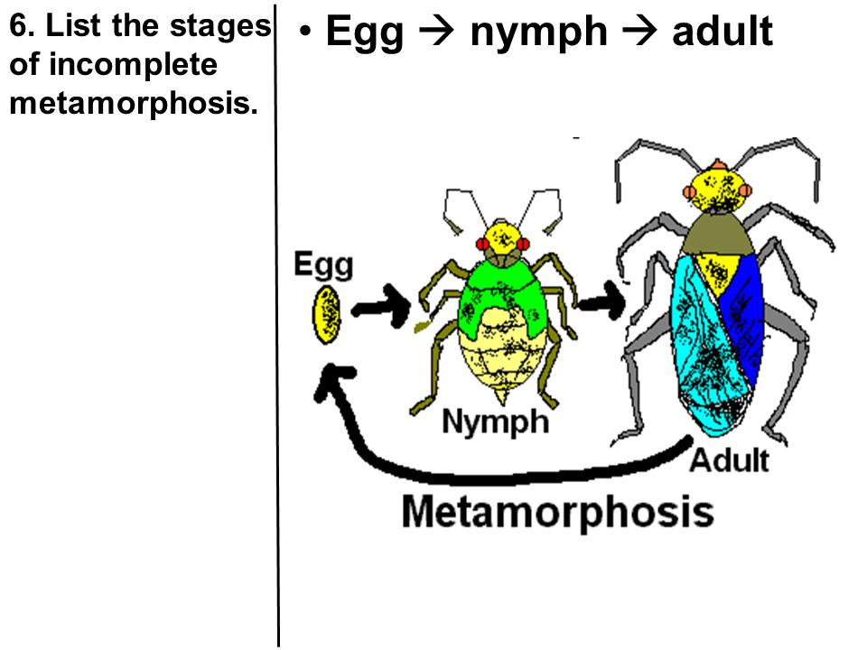6. List the stages of incomplete metamorphosis. Egg  nymph  adult
