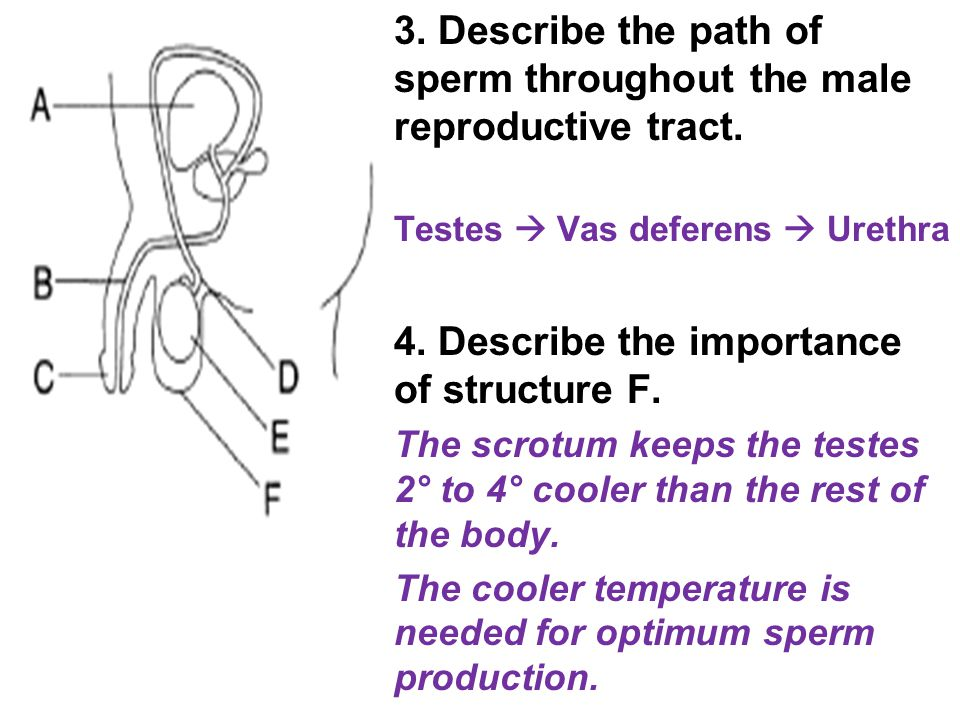 3. Describe the path of sperm throughout the male reproductive tract. Testes  Vas deferens  Urethra 4. Describe the importance of structure F. The s