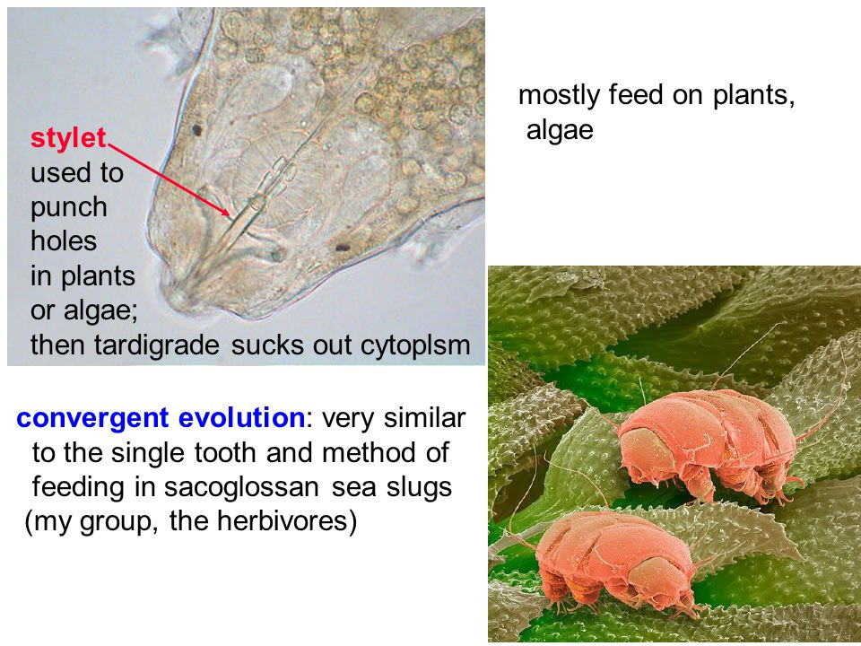 stylet used to punch holes in plants or algae; then tardigrade sucks out cytoplsm mostly feed on plants, algae convergent evolution: very similar to t
