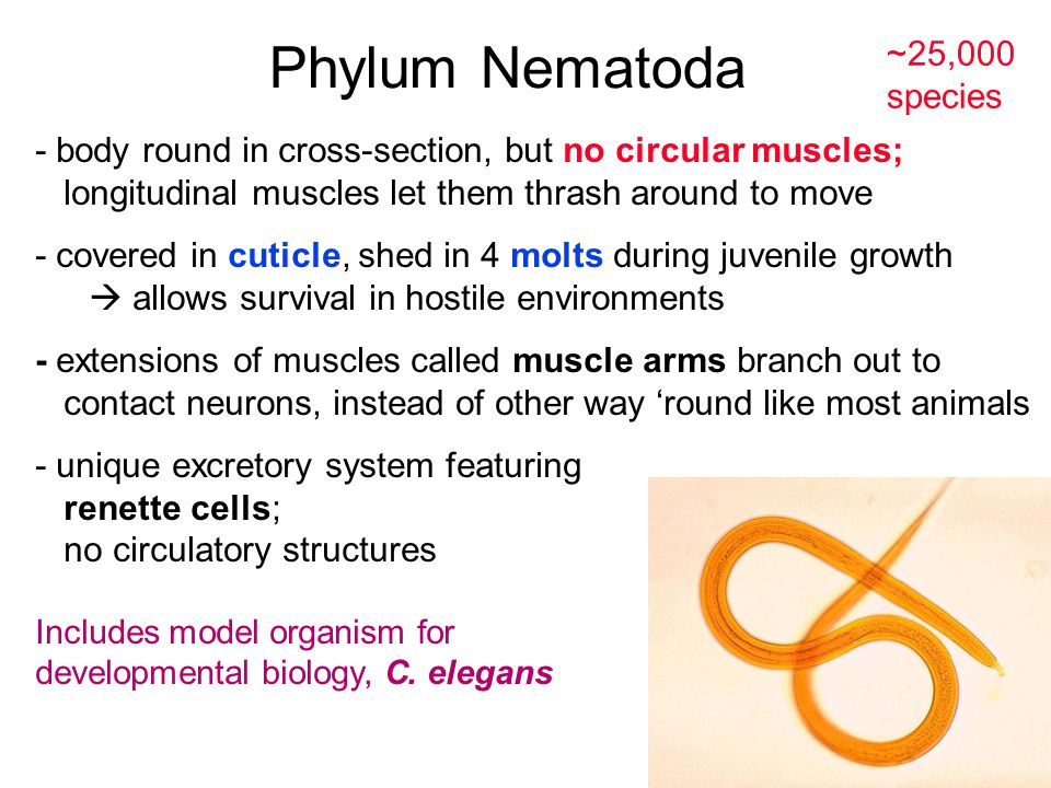 Phylum Nematoda ~25,000 species - body round in cross-section, but no circular muscles; longitudinal muscles let them thrash around to move - covered