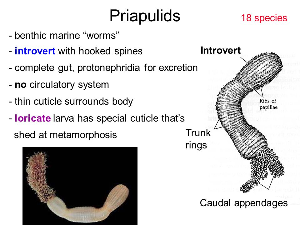 "Priapulids - benthic marine ""worms"" - introvert with hooked spines - complete gut, protonephridia for excretion - no circulatory system - thin cuticle"