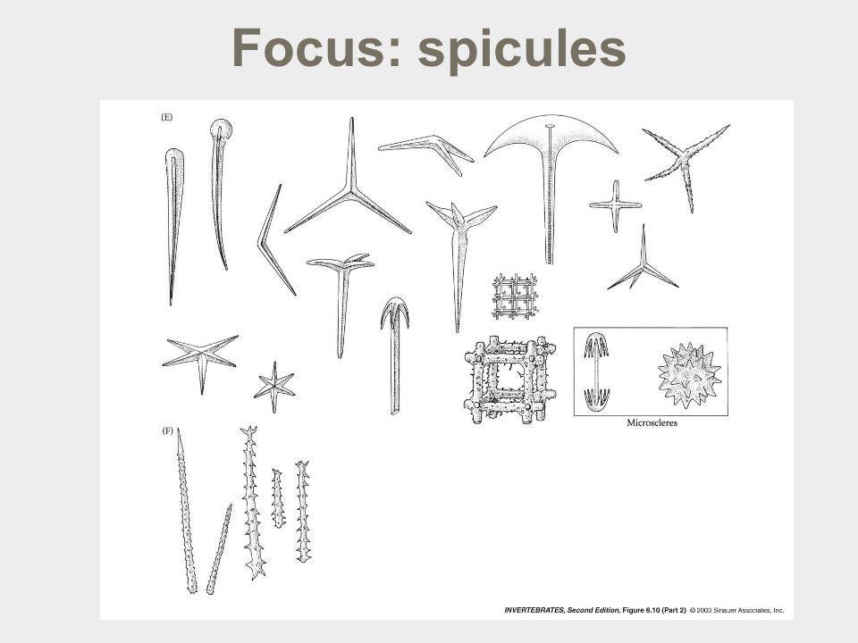 Focus: spicules