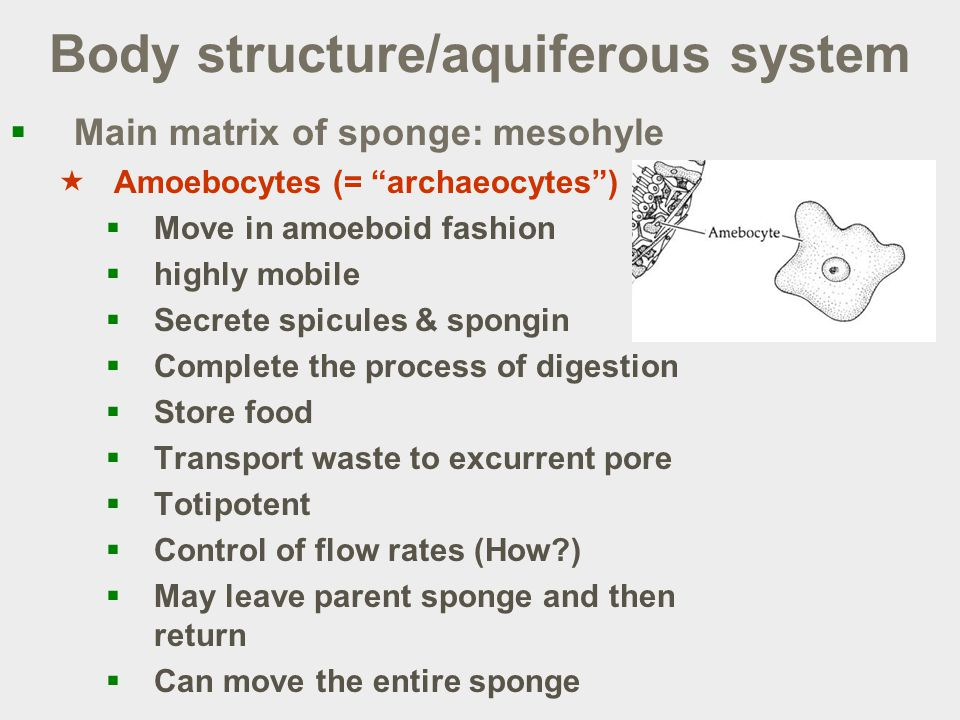 Body structure/aquiferous system  Main matrix of sponge: mesohyle  Amoebocytes (= archaeocytes )  Move in amoeboid fashion  highly mobile  Secrete spicules & spongin  Complete the process of digestion  Store food  Transport waste to excurrent pore  Totipotent  Control of flow rates (How )  May leave parent sponge and then return  Can move the entire sponge