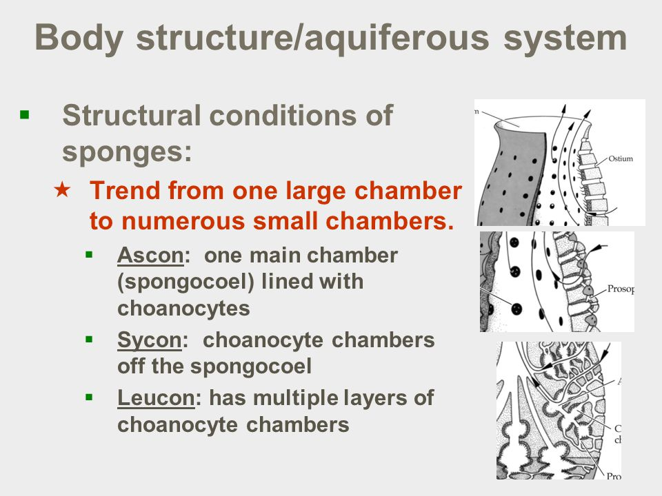 Body structure/aquiferous system  Structural conditions of sponges:  Trend from one large chamber to numerous small chambers.