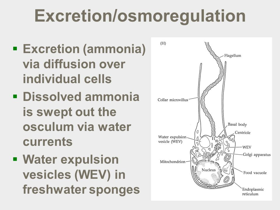 Excretion/osmoregulation  Excretion (ammonia) via diffusion over individual cells  Dissolved ammonia is swept out the osculum via water currents  Water expulsion vesicles (WEV) in freshwater sponges