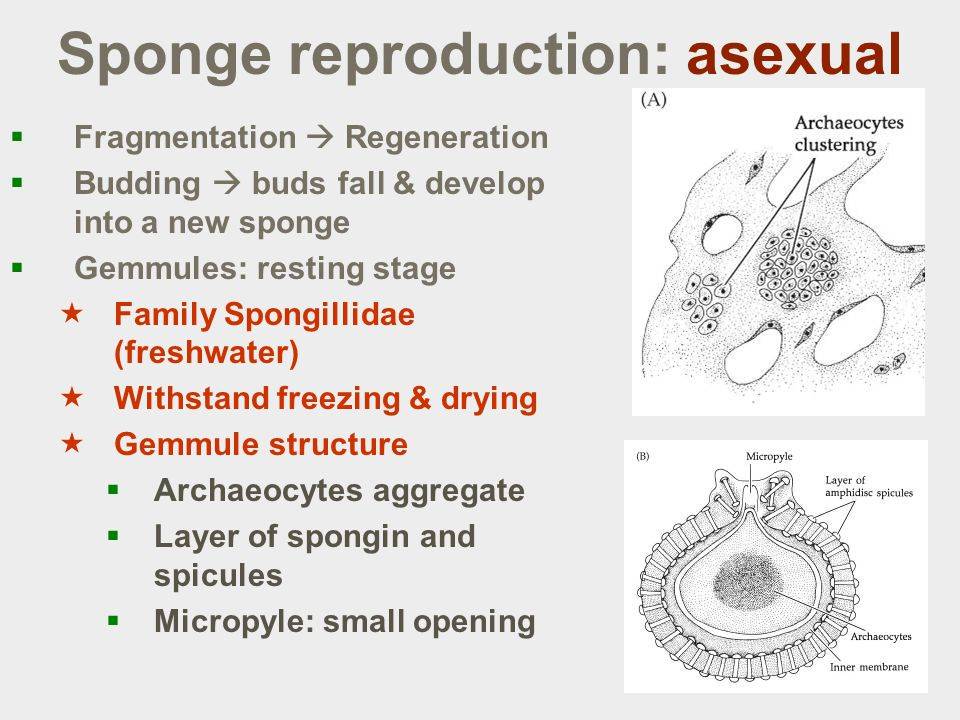 Sponge reproduction: asexual  Fragmentation  Regeneration  Budding  buds fall & develop into a new sponge  Gemmules: resting stage  Family Spongillidae (freshwater)  Withstand freezing & drying  Gemmule structure  Archaeocytes aggregate  Layer of spongin and spicules  Micropyle: small opening