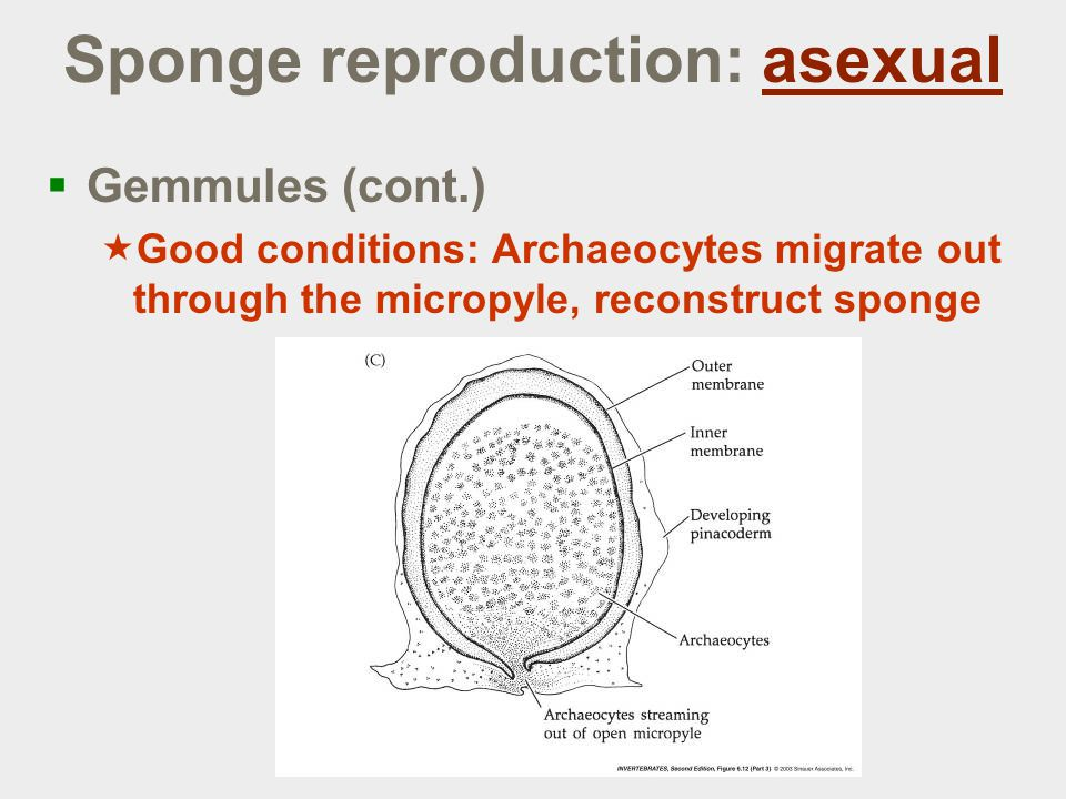 Sponge reproduction: asexual  Gemmules (cont.)  Good conditions: Archaeocytes migrate out through the micropyle, reconstruct sponge
