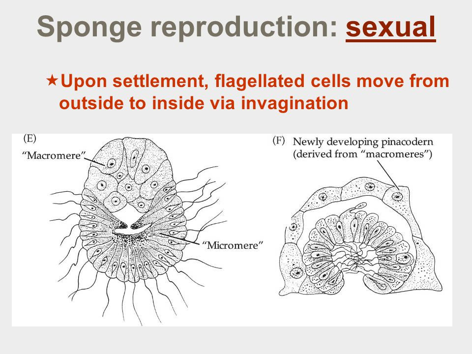 Sponge reproduction: sexual  Upon settlement, flagellated cells move from outside to inside via invagination