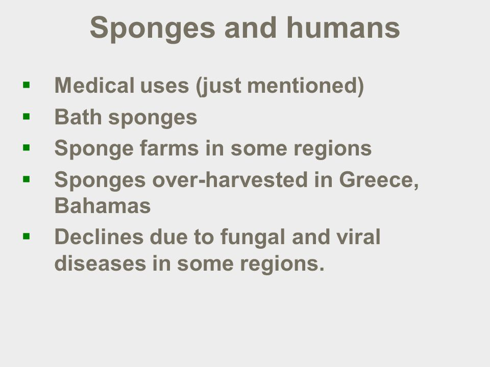 Sponges and humans  Medical uses (just mentioned)  Bath sponges  Sponge farms in some regions  Sponges over-harvested in Greece, Bahamas  Declines due to fungal and viral diseases in some regions.