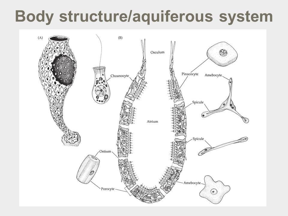 Body structure/aquiferous system