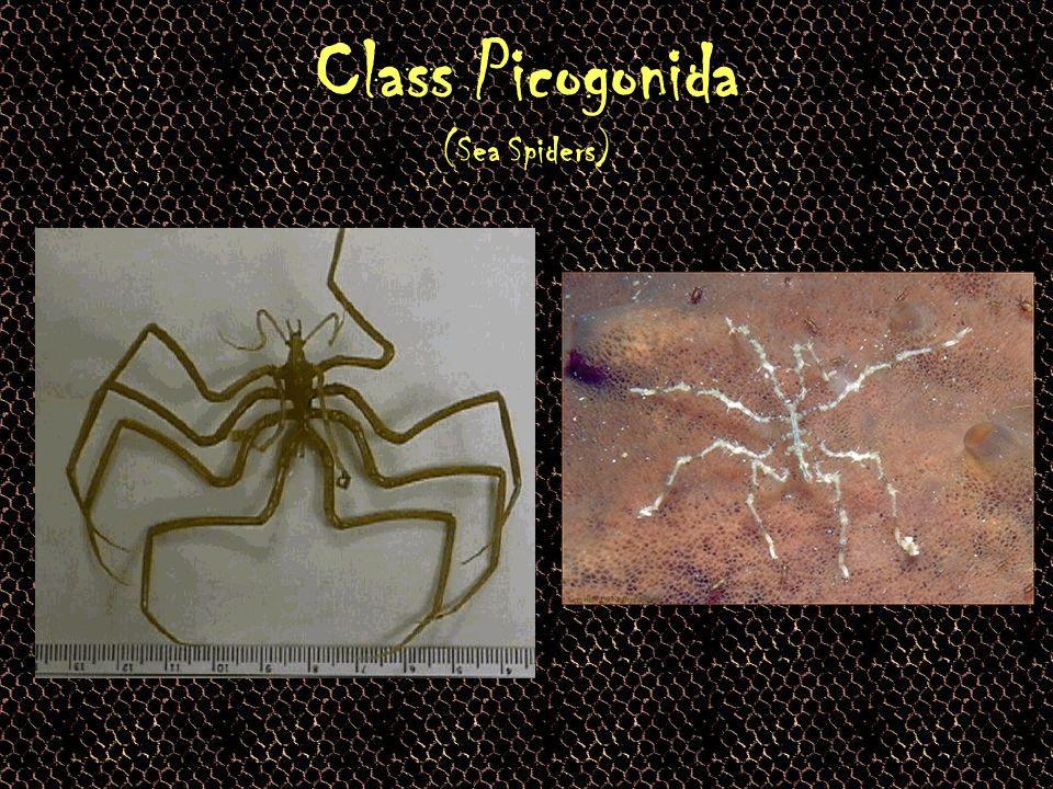 Class Picogonida (Sea Spiders)