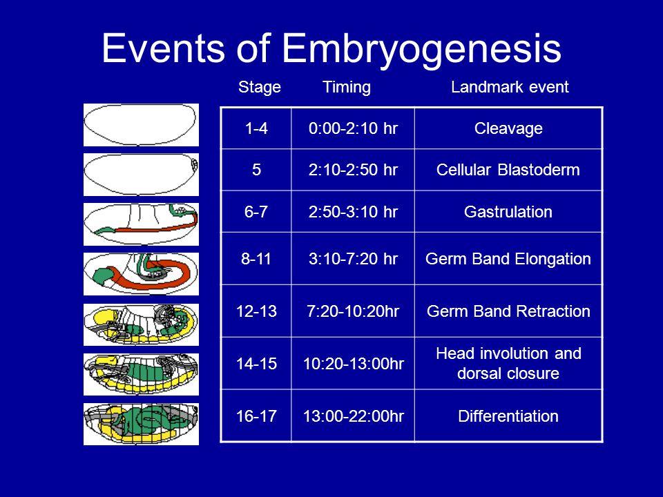 Events of Embryogenesis 1-40:00-2:10 hrCleavage 52:10-2:50 hrCellular Blastoderm 6-72:50-3:10 hrGastrulation 8-113:10-7:20 hrGerm Band Elongation 12-137:20-10:20hrGerm Band Retraction 14-1510:20-13:00hr Head involution and dorsal closure 16-1713:00-22:00hrDifferentiation Stage Timing Landmark event