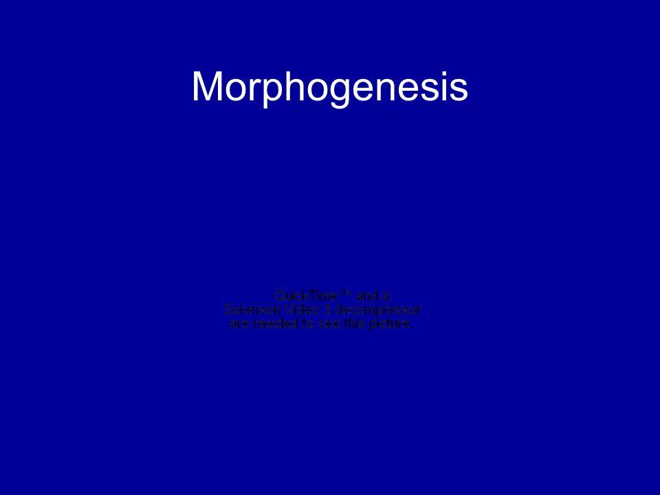 Morphogenesis Movie