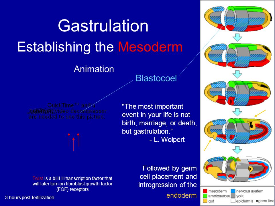 Gastrulation Blastocoel Twist is a bHLH transcription factor that will later turn on fibroblast growth factor (FGF) receptors Animation The most important event in your life is not birth, marriage, or death, but gastrulation. - L.