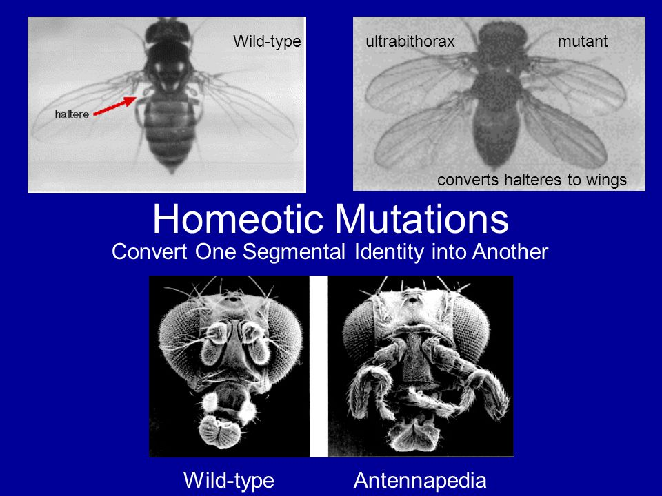 Homeotic Mutations Wild-typeultrabithorax mutant converts halteres to wings Convert One Segmental Identity into Another Wild-type Antennapedia