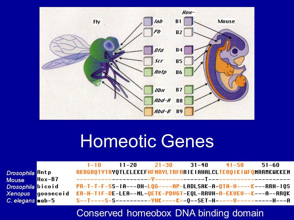 Homeotic Genes Drosophila Mouse Drosophila Xenopus C. elegans Conserved homeobox DNA binding domain