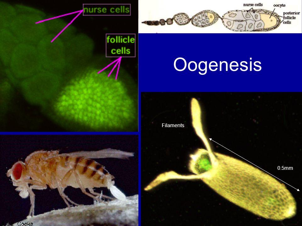 Oogenesis Filaments 0.5mm