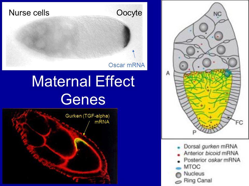 Maternal Effect Genes Oscar mRNA Nurse cells Oocyte Gurken (TGF-alpha) mRNA