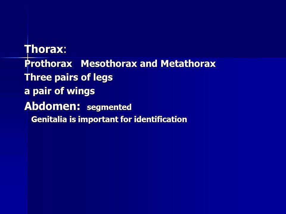 Thorax: Prothorax Mesothorax and Metathorax Three pairs of legs a pair of wings Abdomen: segmented Genitalia is important for identification Genitalia