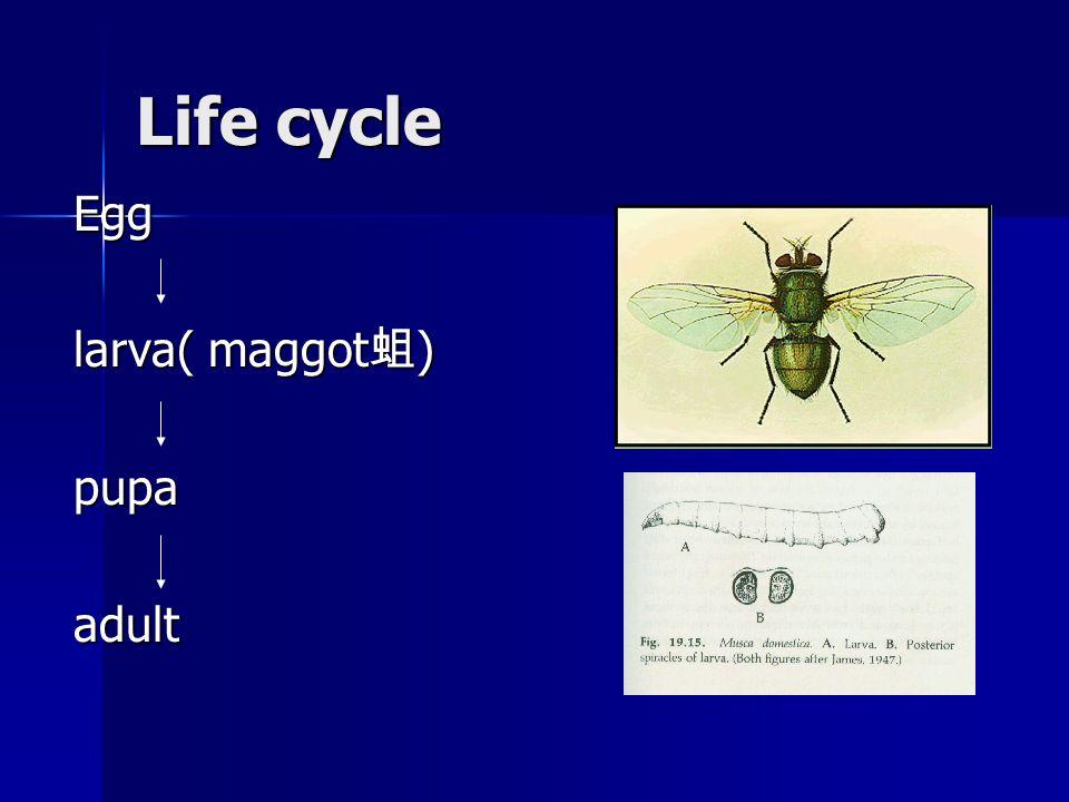 Life cycle Egg larva( maggot 蛆 ) pupaadult