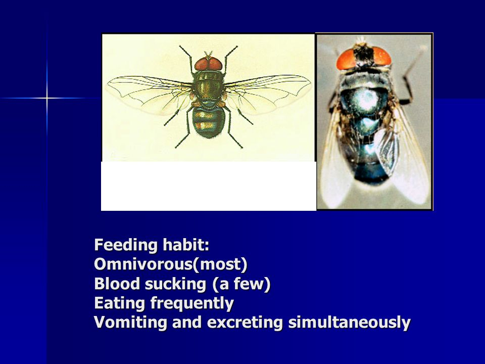 Feeding habit: Omnivorous(most) Blood sucking (a few) Eating frequently Vomiting and excreting simultaneously