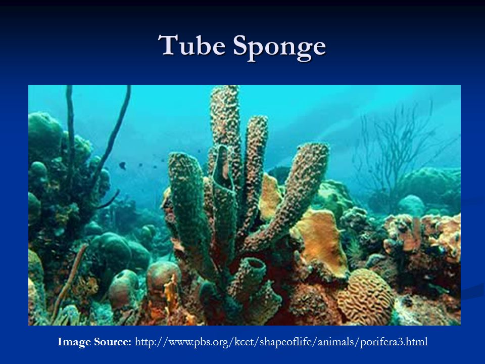 Tube Sponge Image Source: http://www.pbs.org/kcet/shapeoflife/animals/porifera3.html