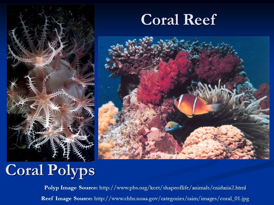 Coral Polyps Polyp Image Source: http://www.pbs.org/kcet/shapeoflife/animals/cnidaria2.html Reef Image Source: http://www.chbr.noaa.gov/categories/rai
