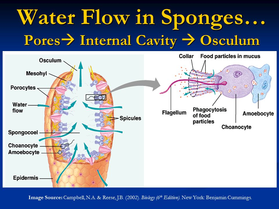 Water Flow in Sponges… Pores  Internal Cavity  Osculum Image Source: Campbell, N.A. & Reese, J.B. (2002). Biology (6 th Edition). New York: Benjamin