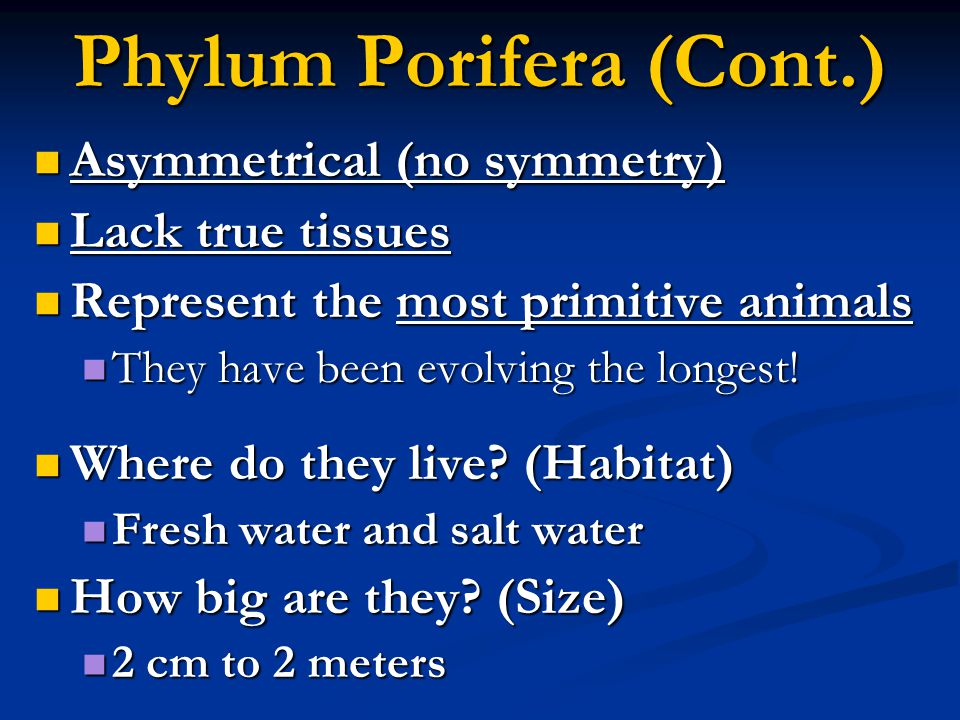 Phylum Porifera (Cont.) Asymmetrical (no symmetry) Asymmetrical (no symmetry) Lack true tissues Lack true tissues Represent the most primitive animals