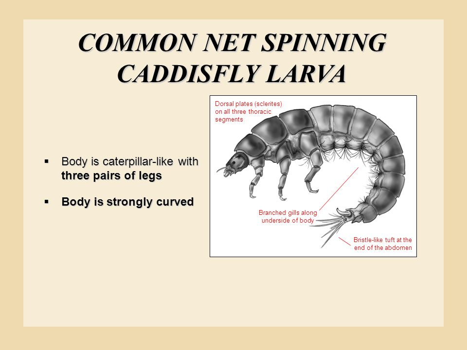 COMMON NET SPINNING CADDISFLY LARVA Branched gills along underside of body Dorsal plates (sclerites) on all three thoracic segments Bristle-like tuft