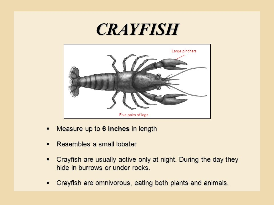 CRAYFISH  Measure up to 6 inches in length  Resembles a small lobster  Crayfish are usually active only at night. During the day they hide in burro