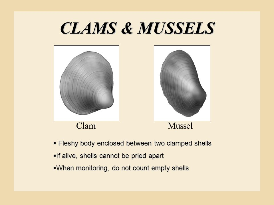 CLAMS & MUSSELS ClamMussel  Fleshy body enclosed between two clamped shells  If alive, shells cannot be pried apart  When monitoring, do not count