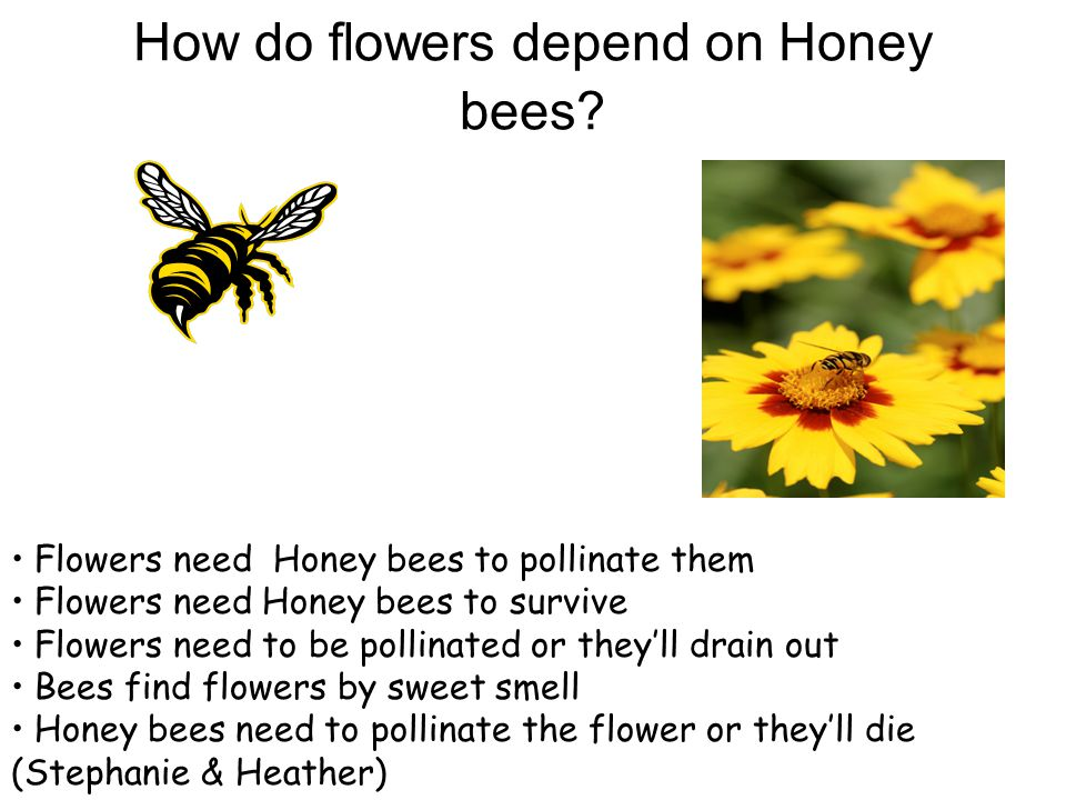 How do flowers depend on Honey bees.