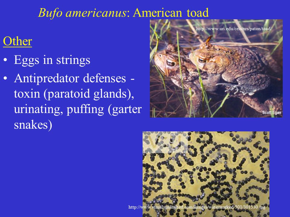 Bufo americanus: American toad Other Eggs in strings Antipredator defenses - toxin (paratoid glands), urinating, puffing (garter snakes) http://www.uri.edu/cels/nrs/paton/toad/ http://www.visualsunlimited.com/images/watermarked/301/301530.jpg