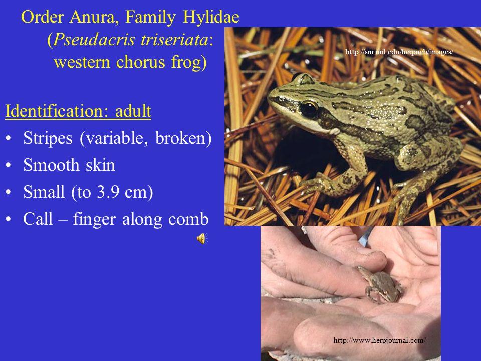 Order Anura, Family Hylidae (Pseudacris triseriata: western chorus frog) Identification: adult Stripes (variable, broken) Smooth skin Small (to 3.9 cm