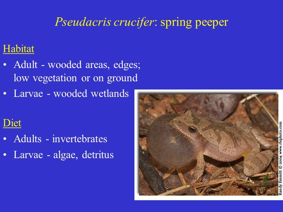 Pseudacris crucifer: spring peeper Habitat Adult - wooded areas, edges; low vegetation or on ground Larvae - wooded wetlands Diet Adults - invertebrates Larvae - algae, detritus