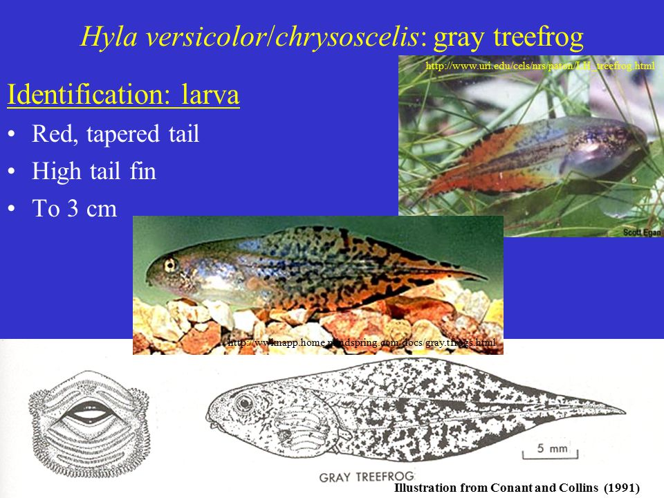 Hyla versicolor/chrysoscelis: gray treefrog Identification: larva Red, tapered tail High tail fin To 3 cm Illustration from Conant and Collins (1991) http://www.uri.edu/cels/nrs/paton/LH_treefrog.html http://wwknapp.home.mindspring.com/docs/gray.tfrogs.html