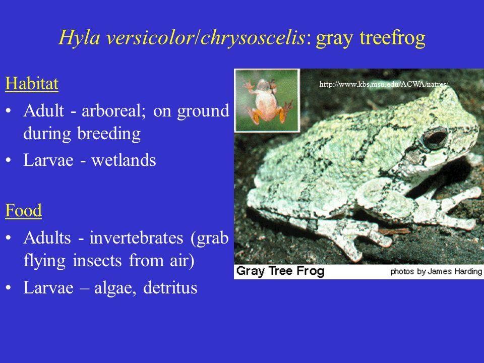 Hyla versicolor/chrysoscelis: gray treefrog Habitat Adult - arboreal; on ground during breeding Larvae - wetlands Food Adults - invertebrates (grab flying insects from air) Larvae – algae, detritus http://www.kbs.msu.edu/ACWA/natres/