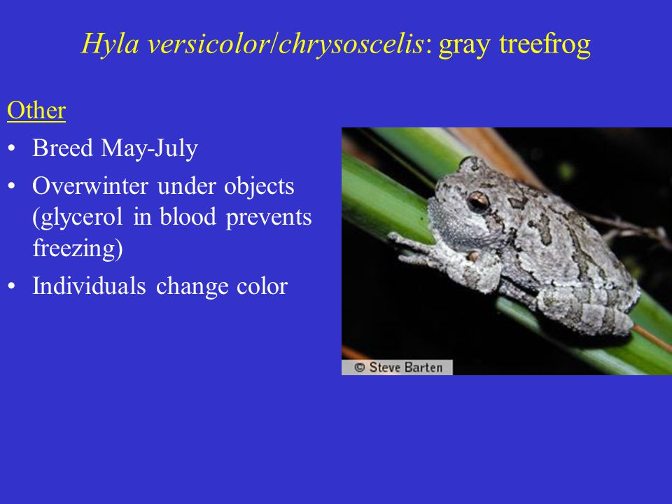 Other Breed May-July Overwinter under objects (glycerol in blood prevents freezing) Individuals change color Hyla versicolor/chrysoscelis: gray treefrog