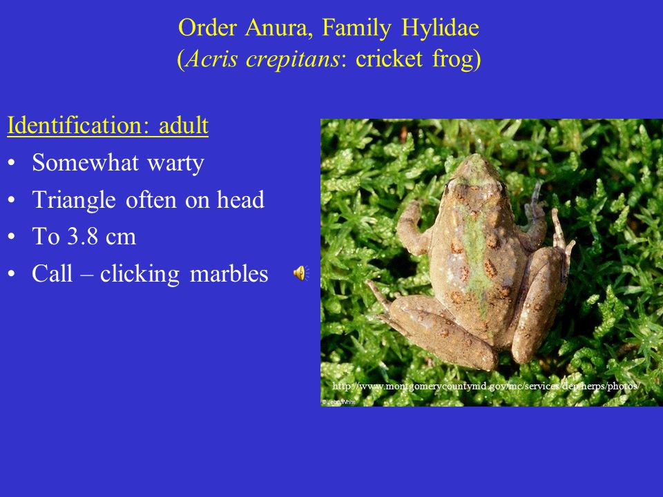 Order Anura, Family Hylidae (Acris crepitans: cricket frog) Identification: adult Somewhat warty Triangle often on head To 3.8 cm Call – clicking marbles http://www.montgomerycountymd.gov/mc/services/dep/herps/photos/