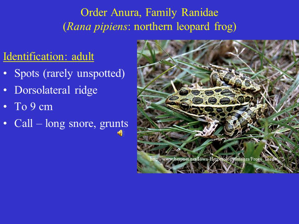 Order Anura, Family Ranidae (Rana pipiens: northern leopard frog) Identification: adult Spots (rarely unspotted) Dorsolateral ridge To 9 cm Call – long snore, grunts http://www.herpnet.net/Iowa-Herpetology/images/Frogs_Toads/