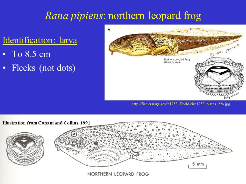 Rana pipiens: northern leopard frog Identification: larva To 8.5 cm Flecks (not dots) Illustration from Conant and Collins 1991 http://fisc.er.usgs.go