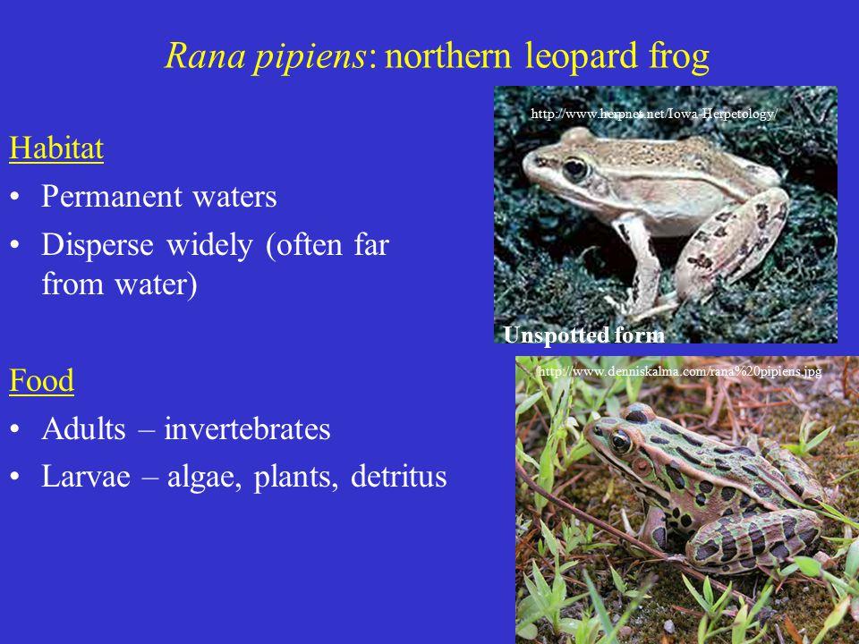 Habitat Permanent waters Disperse widely (often far from water) Food Adults – invertebrates Larvae – algae, plants, detritus Unspotted form http://www.herpnet.net/Iowa-Herpetology/ Rana pipiens: northern leopard frog http://www.denniskalma.com/rana%20pipiens.jpg