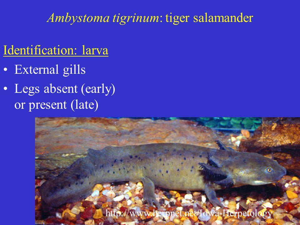 Ambystoma tigrinum: tiger salamander Identification: larva External gills Legs absent (early) or present (late) http://www.herpnet.net/Iowa-Herpetology